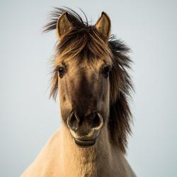 Paarden Potret