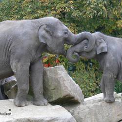 Spelende olifanten