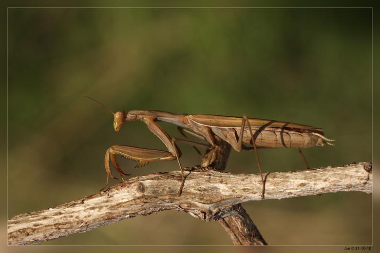 Bidsprinkhaan - Algarve 31-10-10<br /> De lengte is ongeveer 7,5 centimeter maar alleen vrouwtjes bereiken deze lengte, mannetjes blijven kleiner. He