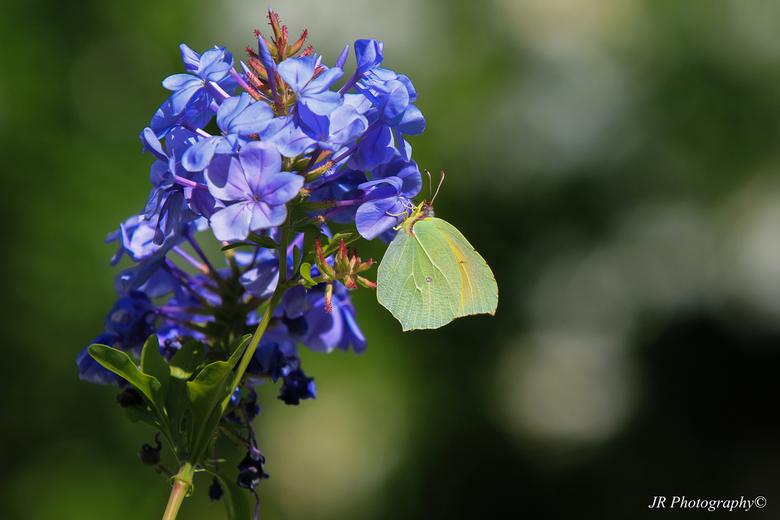 Citroen vlinder -