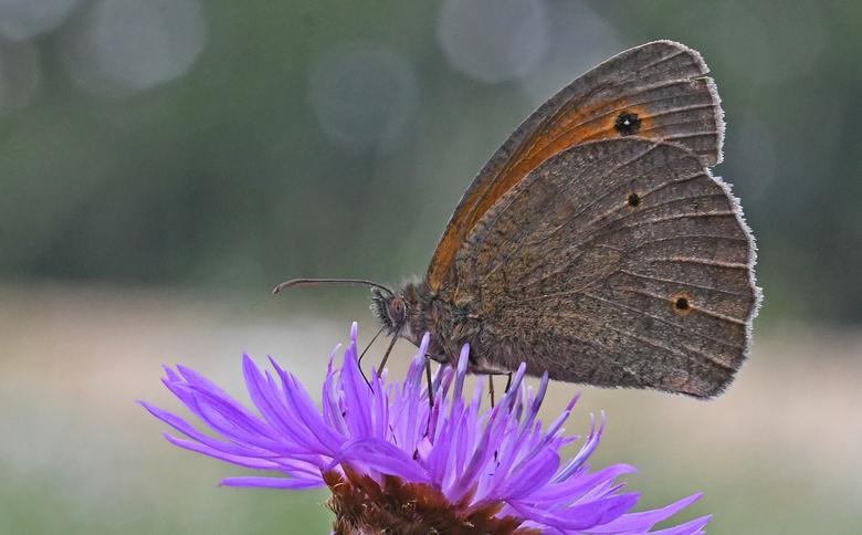 grootste - Er zijn drie soorten aurelia's die met dichte vleugels veel op elkaar lijken, het bruin zandoogje, het oranje zandoogje en het hooibee