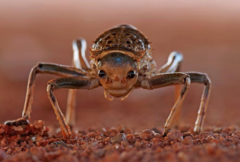 Alien - Armoured cricked in de Namib desert