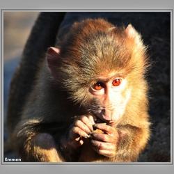 Twee aap bruine ogen
