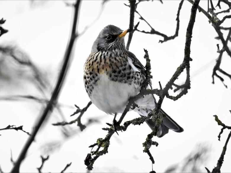 Kramsvogel -