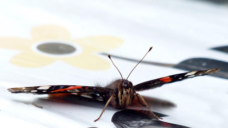 Tong - ik ben niet zo'n macro fotograaf maar toen er een vlinder langdurig op een zak tuinaarde zat heb ik het toch maar weer eens geprobeerd. To