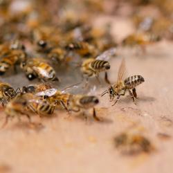 Bijenkontjes
