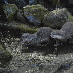 Visetende otters