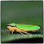 kleine cicade