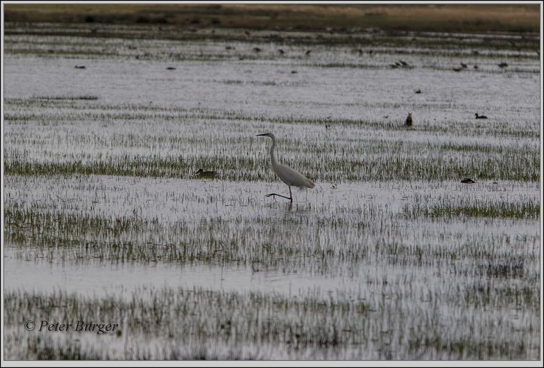 witte reiger - de ondergelopen weilanden beginnen heel voorzichtig weer wat droog te vallen. straks is er weer volop plek voor de broedsels.