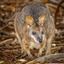 Wallaby, Australia