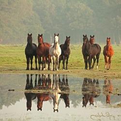 Horses reflect