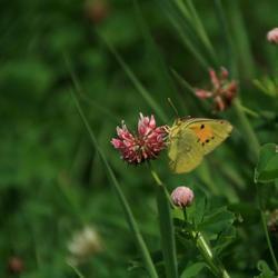 Luzerne vlinder.