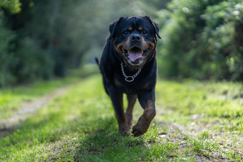 Rottweiler - Deze rottweiler is al 12 jaar oud en de eigenaren wilden nog wat mooie foto's hebben.
