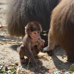 Jong baviaantje