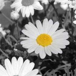 Bloem zwart wit