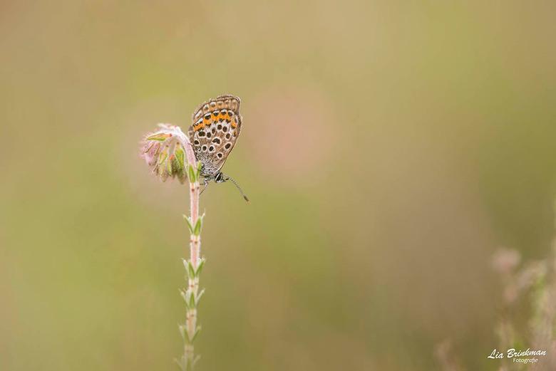 ienie mini vlindertje -  ienie mini vlindertje, <br /> Wat een mooie plek heeft dit vlindertje uitgekozen om te wachten op de ochtend zon. Het duurd