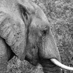 Wandering elephant