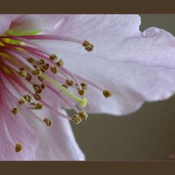 Amandelbloesem bloeit