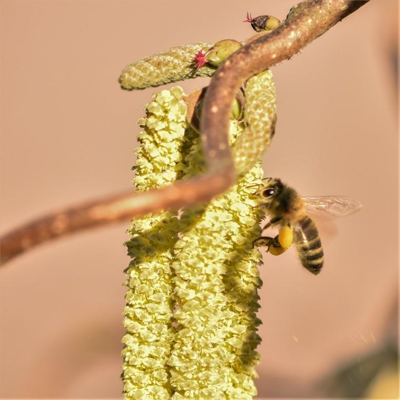 Hazelaar met bij  en bloemetjes - als je goed kijkt zie je onderaan stuifmeel vallen...met boven de kleine vrouwelijke bloemetjes  en manlijke stuifme