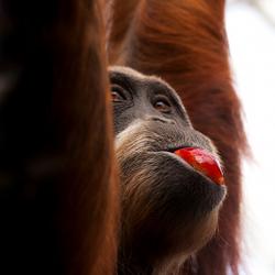 Sumatraanse Orang Oetan