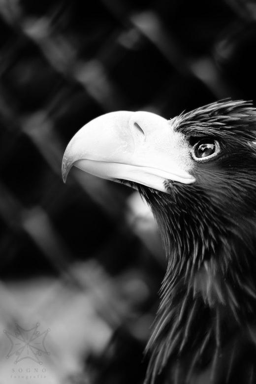Adelaarsblik - Een prachtig adelaarsjong kijkt verlangend omhoog.