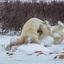Churchil IJsberen stoeien 3
