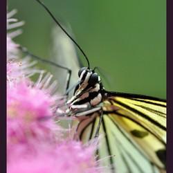 geel-witte vlinder