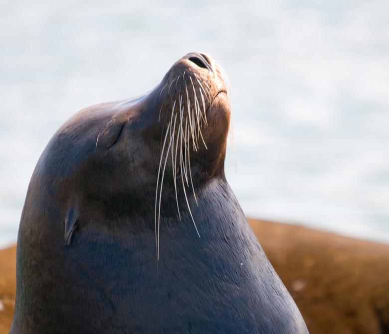 zonnende zeeleeuw - genomen in San Francisco (Fishermans Wharf, Pier 39) waar een enorm aantal Californische zeeleeuwen verblijft. <br /> Ze kijken n