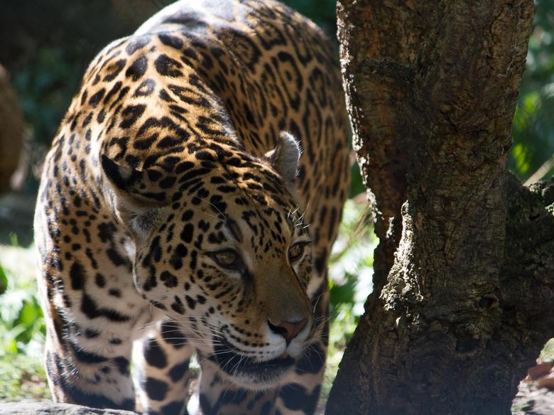 Jaguar - De jaguar was wakker en op zoek naar een plaats om te relaxen