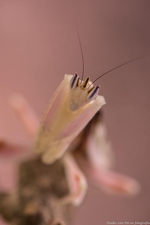 Pink Lady - Wat een schitterende sprinkhaan, zo mooi zo fijntjes.. hier een close-up. <br /> Ook zij was aanwezig bij Hanny.