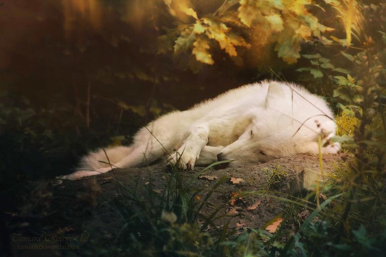 Dream Hunter - Witte wolf.<br /> <br /> Wil je meer van mijn fotografie zien? Bezoek dan http://tammyphotography.deviantart.com
