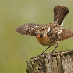 Met gespreide vleugels