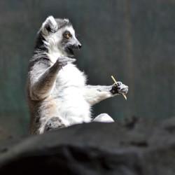 Zoo Antwerpen ringstaart maki