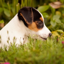 Jack Russel Terrier pup Paco