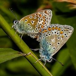 Icarusblauwtje 1