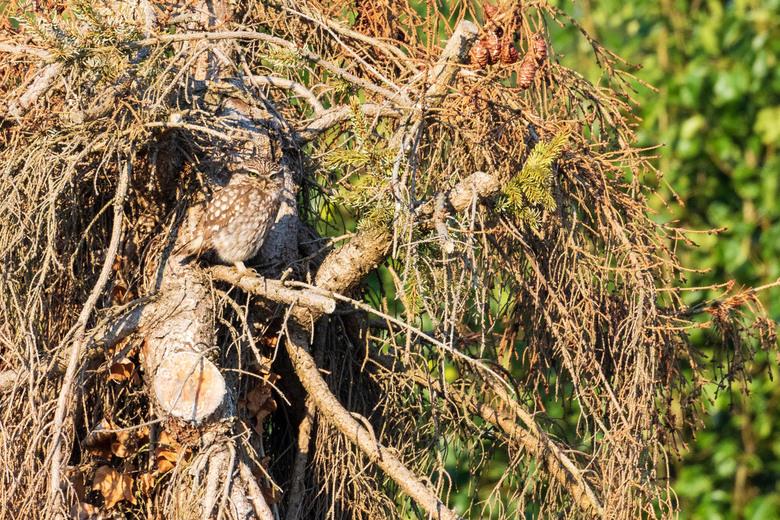 Gecamoufleerde steenuil - Nog een foto van een gecamoufleerde steenuil