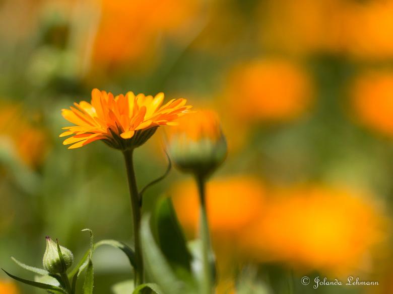 Oranje Margriet - Spelen met scherpte/diepte