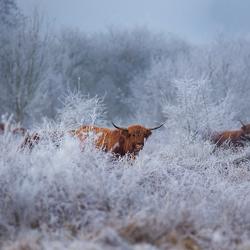 Schotse hooglanders in een winterse wereld