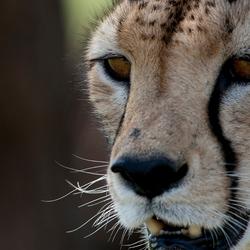 Cheetah op jacht = Samburu NP ( Kenia )