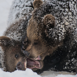 battle of the bears