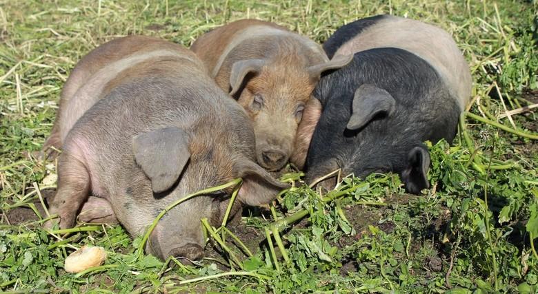 Dutje - De varkens van Varkenshoederij Kuusj uit Mechelen die tijdelijk logeren bij Belevingstuin D'r Moostuin in Berg en Terblijt maakten gister