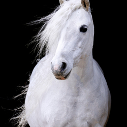 Black foto Schimmel pony