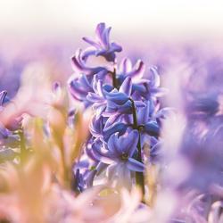 Hyacint bij zonsondergang