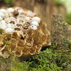 Afgevallen wespen nest