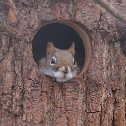 Perny eekhoorn