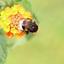 Gele bloem met bij