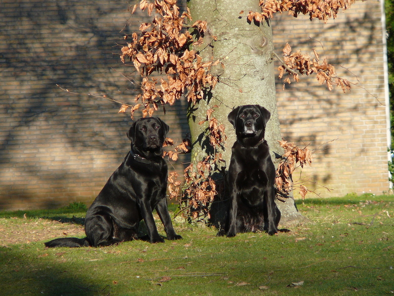 Twee mooi labradors -