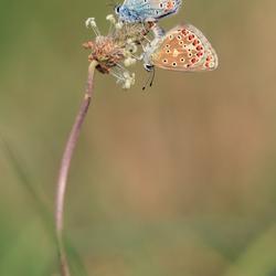 Icarius blauwtje