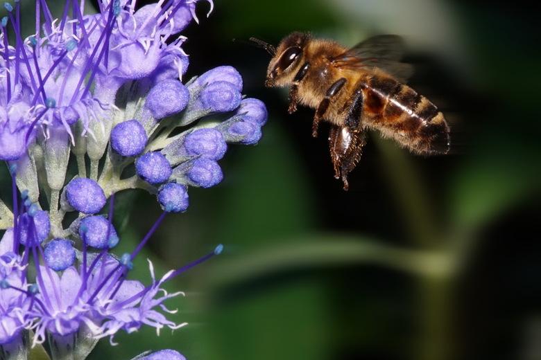 2018-09-15 11-59-54 - bijen in de tuin acdsee exp - Even lekker experimenteren in de tuin. Bijen bij de laatbloeiers. Genomen met de A6300 met Tokina