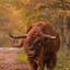 Schotse hooglander in de Schinveldsebossen